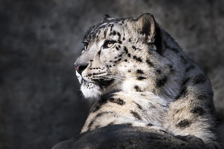 Webb snöleopard